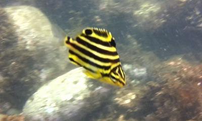 黒黄しまの魚
